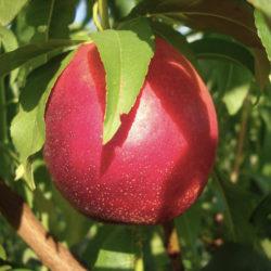 Нектарин Рубиновый 4-7-8