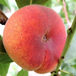 Персик инжирный Бельмондо