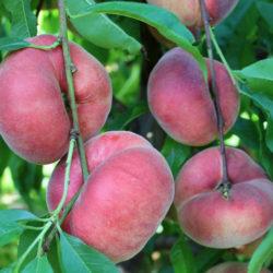 Персик инжирный Свит Кап