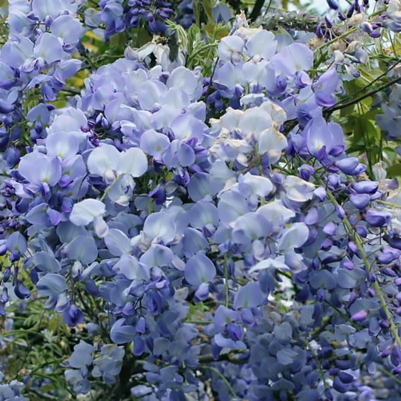 Глициния обильноцветущая Блю Дрим (Blue Dream) саженцы