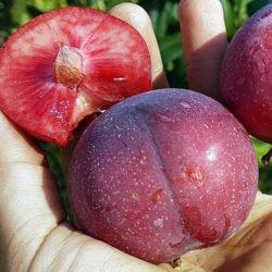 Нектакотум (гибрид нектарина сливы и абрикоса)
