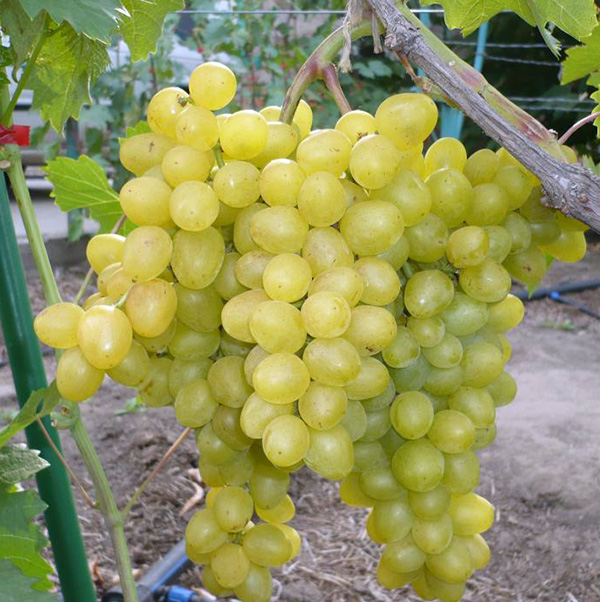 Виноград Супер Экстра (Цитрин)