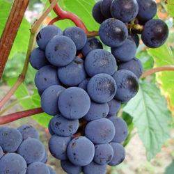 Виноград Зилга (Zilga)