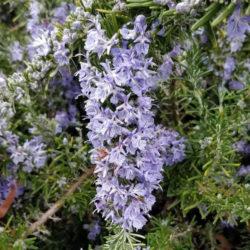 Розмарин Корсикан Блю (Corsican Blue)