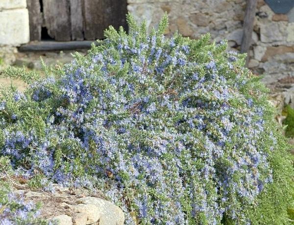 Розмарин Корсикан Блю (Corsican Blue) саженцы